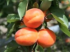 Fête de l'abricot